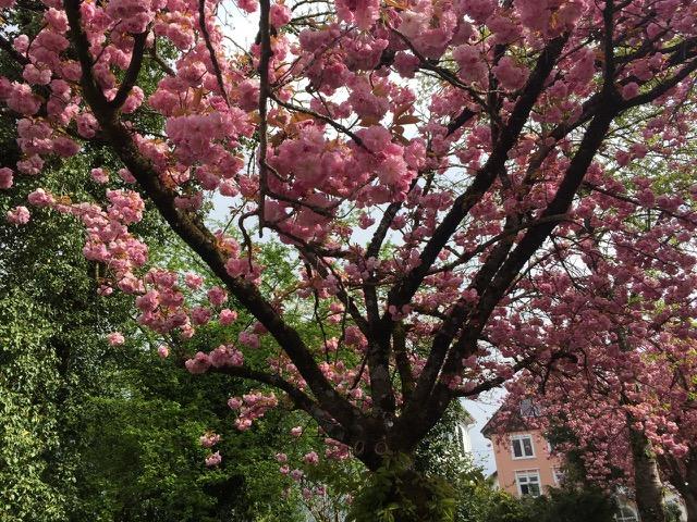 Kirschblüten, Foto: Emma Boch